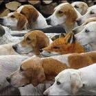 Hondenrassen: Billy (meutehond uit Frankrijk)
