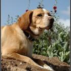 Hondenrassen: Dunker