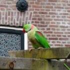 Grote alexanderparkiet – een exoot in Nederland