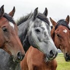 Voer voor te dunne of oudere paarden