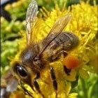 Bijen en de bijenverdwijnziekte (CCD)