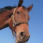 Een zinktekort bij paarden komt veelvuldig voor
