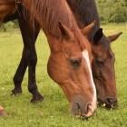 Zinktekort bij paarden
