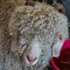 Geitenras: Angorageit - informatie, verzorging en angorawol