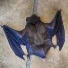 Fabels en feiten over vleermuizen