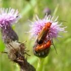 Insecten: soldaatjes (weekschildkever)