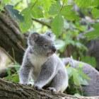 Natuurlijk gedrag van de koala
