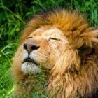 Leeuwen eten hun prooi levend op