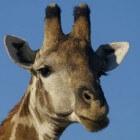 Giraffe, imposant dier in Afrika