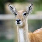 Impala, de meest sierlijke en lieve antilope