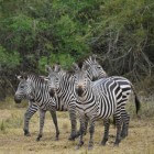 Burchell´s zebra of steppezebra