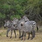 Burchell´s zebra of steppezebra