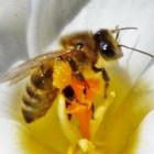 700% meer bijensterfte in de buurt van zendmasten