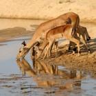 Veel voorkomende antilopes in Afrika