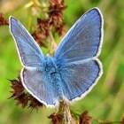 Blauwe vlinders in Nederland en België