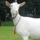 Geitenras: Nederlandse witte geit