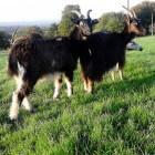 Geiten: Pauwengeit, Bündner Stralen, Pinzgauer en Poitevine