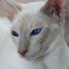 BAER-tests en doofheid bij witte katten