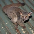 Galago: een klein Afrikaans zoogdier