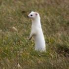 De hermelijn: een roofdier dat behoort tot de marterachtigen