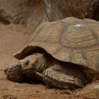 Schildpadden: Galapagos-reuzenschildpad