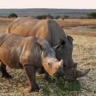 Zoogdieren: onevenhoevigen
