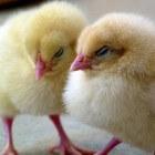 Wanneer gaan kippen broeden?