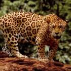 De jaguar: een sluw en onzichtbaar roofdier