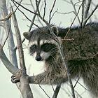 De wasbeer, een gemaskerde bandiet