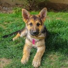 Een puppy ophalen en thuis laten wennen