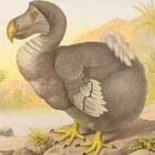 Dodo of Walgvogel - 3D-scantechniek brengt skelet in beeld