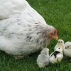 Help, mijn kip is broeds