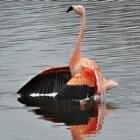 De Chileense en Caribische flamingo in Nederland