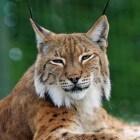 Rode lynx – solitair en zorgzaam