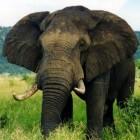 De hoogontwikkelde communicatie tussen Afrikaanse olifanten