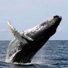 De hoogontwikkelde intelligentie van de walvis