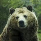 Ontmoeting met een beer: wat moet je doen?