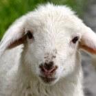 Lammetjesdagen: vier de lente en bewonder de lammetjes
