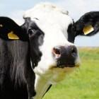 De koeiendans: een koe in de wei is gezonder en blij