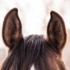 Zintuigen van het paard - Het gehoor