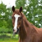 De kaptoom, een handig hulpmiddel bij het paard