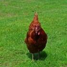 De verzorging van kippen: tips