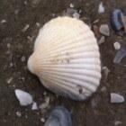 Small Five van de Waddenzee - kleintjes in het werelderfgoed