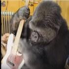 Het leven van de westelijke gorilla Koko ('Project Koko')