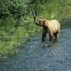 Het indrukwekkende reukvermogen van de bruine beer