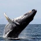 De jachtmethode en voedselvoorkeur van de bultrugwalvis