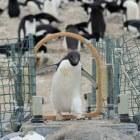 Pinguïns onderzoeken door middel van een robot-pinguïn
