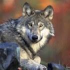 Een wolf heeft altijd honger