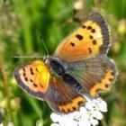 Oorzaken voor de verdwijning van bijen en vlinders