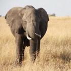 De verschillen tussen Aziatische en Afrikaanse olifanten